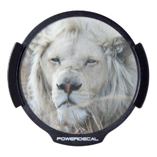 African white lion resting LED car decal