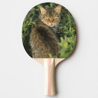 African Wild Cat, Felis libyca), ancestor of