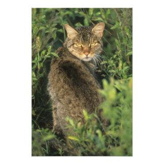 African Wild Cat, Felis libyca), ancestor of Photo Print