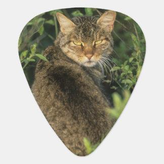 African Wild Cat, Felis libyca), ancestor of Plectrum