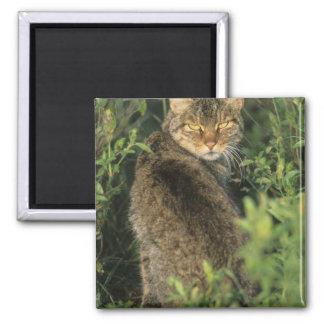 African Wild Cat, Felis libyca), ancestor of Square Magnet