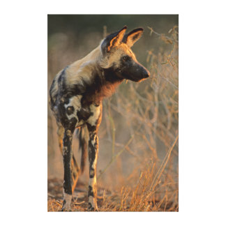 African Wild Dog (Lycaon Pictus), Kruger Canvas Print