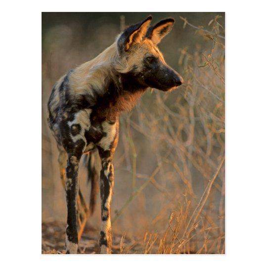 African Wild Dog (Lycaon Pictus), Kruger Postcard