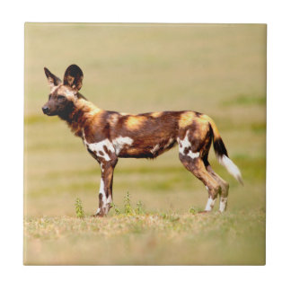 African Wild Dog (Lycaon Pictus) Standing Small Square Tile