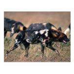 African Wild Dogs hunting on savanna Postcard