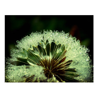 After the rain - Dandelion with droplets Postcards