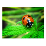 After the rain - Ladybug with droplets Postcard