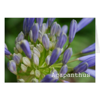 Agapanthus Blank Greeting Card