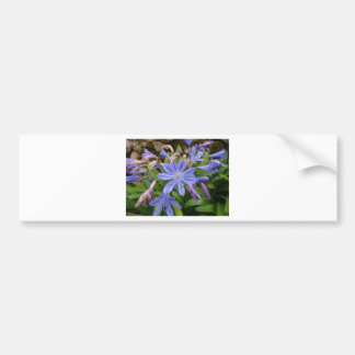 Agapanthus blooms bumper sticker