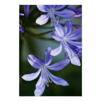 Agapanthus flower blooms posters