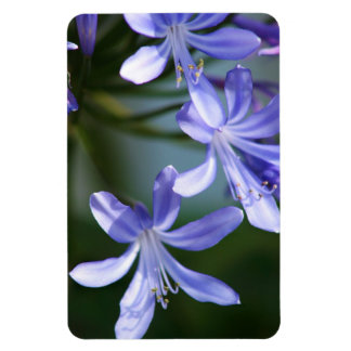 Agapanthus flower blooms magnet