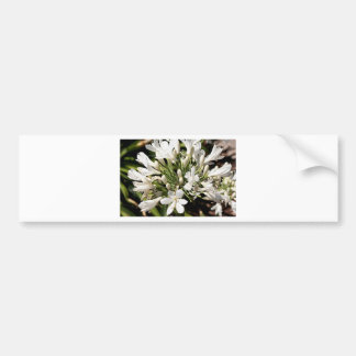 Agapanthus flower in bloom bumper sticker