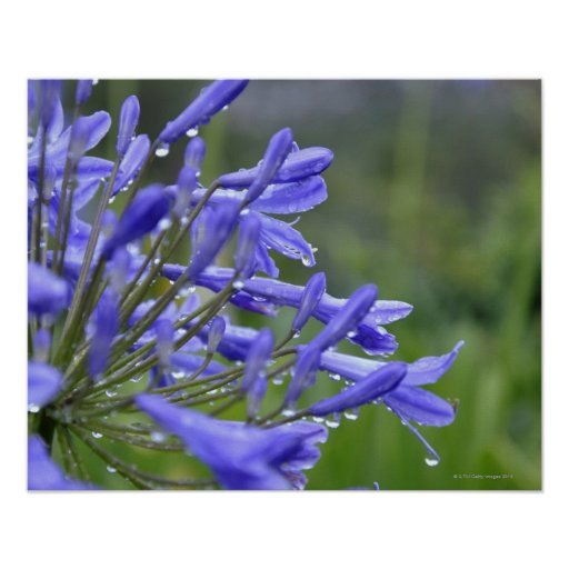 Agapanthus praecox, commonly known as poster