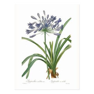 Agapanthus umbellatus postcard