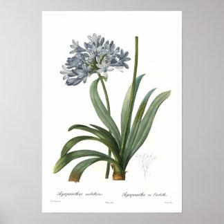 Agapanthus umbellatus print