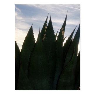 Agave Skyrockets Postcard
