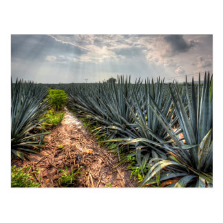 Agave Tequilana Postcard