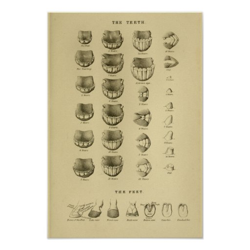 Age of Horse by Teeth Chart Dental Anatomy