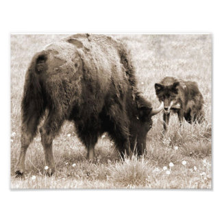 Aggressive wolf hunting bison photograph