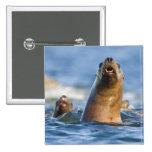 Agressive Stellar Sea Lions Eumetopias Badge