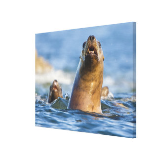 Agressive Stellar Sea Lions Eumetopias Canvas Print