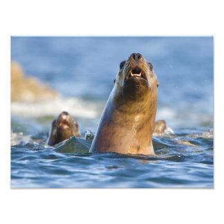 Agressive Stellar Sea Lions Eumetopias Photo Print