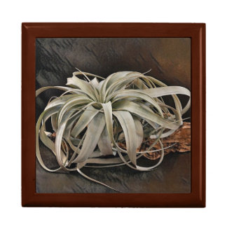 Air Plant Xerographica Large Square Gift Box