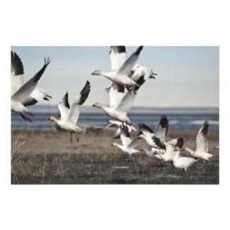 Airborne Snow Geese Photographic Print