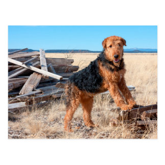 Airedale on a stack of wood postcard