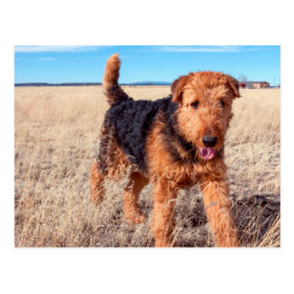 Airedale Terrier in a field of dried grasses Postcard