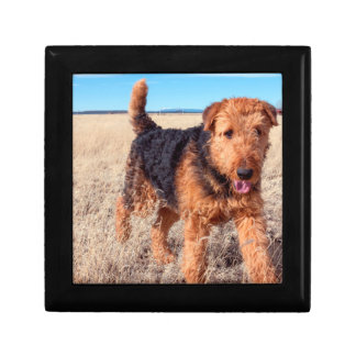 Airedale Terrier in a field of dried grasses Small Square Gift Box
