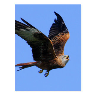 Alarmed Red Kite Postcard