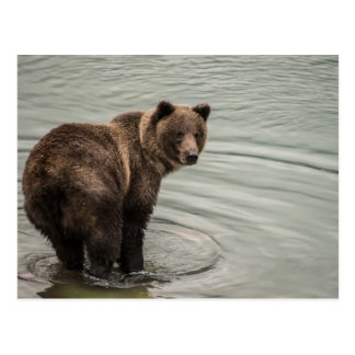 Alaska Brown Bear (Grizzly) Postcard