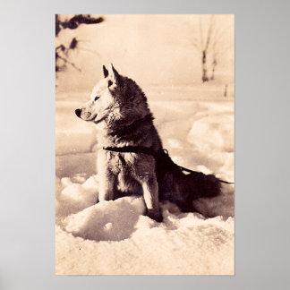 Alaska Iditarod Dog, circa 1940 Poster