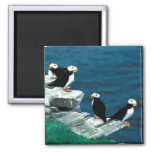Alaska Puffins Feathered Colourful Birds