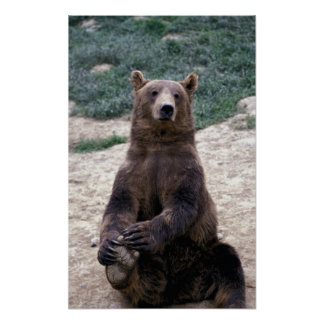 Alaska, southeast region Brown bear Ursus Poster