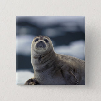 Alaska, southeast region Harbor seal on ice 15 Cm Square Badge