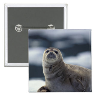 Alaska, southeast region Harbor seal on ice 15 Cm Square Badge