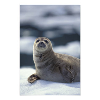 Alaska, southeast region Harbor seal on ice Art Photo