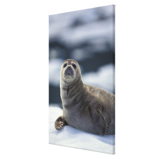 Alaska, southeast region Harbor seal on ice Canvas Print