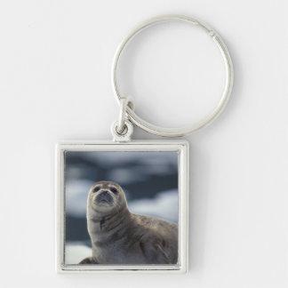 Alaska, southeast region Harbor seal on ice Key Ring