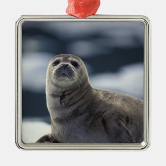 Alaska, southeast region Harbor seal on ice Silver-Colored Square Decoration