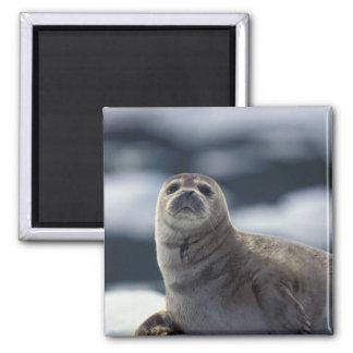 Alaska, southeast region Harbor seal on ice Square Magnet