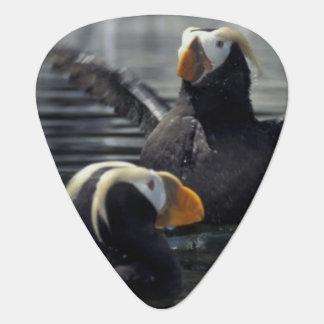 Alaska Tufted puffins Plectrum