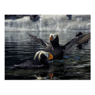 Alaska Tufted puffins Postcard