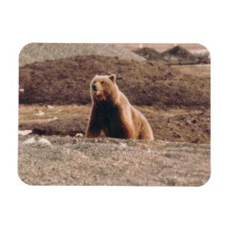 Alaska Tundra Grizzly Sow Arctic Refrigerator Rectangular Photo Magnet