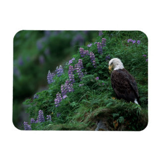 Alaska, Unalaska Island Bald Eagle among Nootka Rectangular Photo Magnet