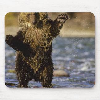 Alaska, USA, Grizzly Bear, Ursus arctos, cub Mouse Pad