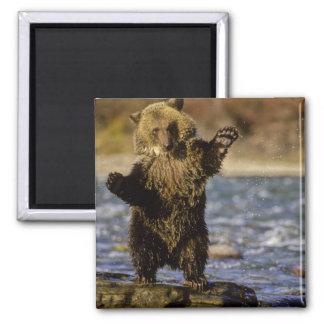 Alaska, USA, Grizzly Bear, Ursus arctos, cub Square Magnet
