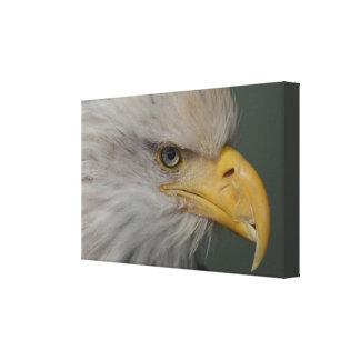 Alaskan Bald Eagle. A symbol of Freedom !!!! Canvas Print